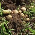自家採種のジャガイモ(2015年春)